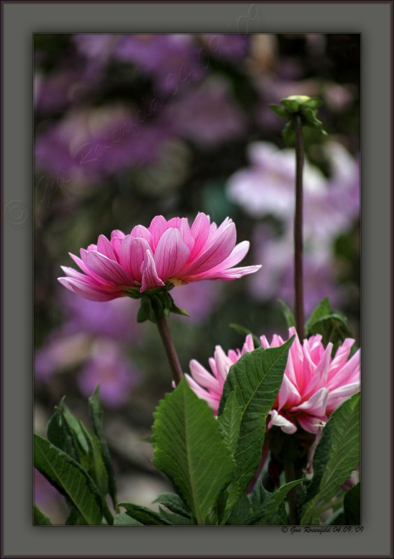 Some Dahlia - As Opposed To That Place Where Pirates Range Off The Coast