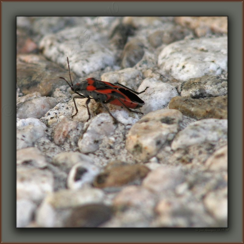 Stares From The Stairs<br>Boxelder or Milkweed Bug