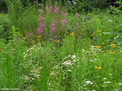 Butterfly meadow, July 2009