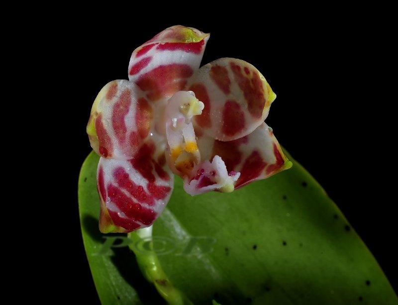 Phalaenopsis amboinensis, flower 3 - 3.5 cm