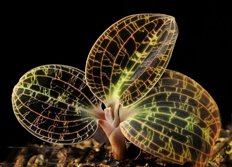 Macodes petola var. robusta, foliage, terrestrial orchid