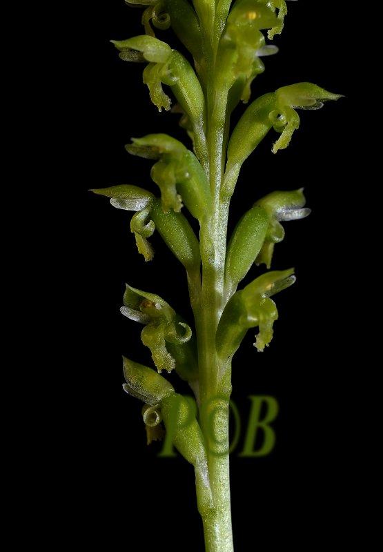 Microtis unifolia, Australia