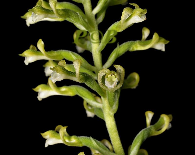 Sauroglossum nitidum