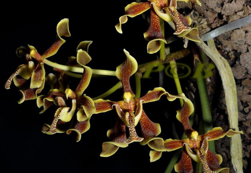 Paraphalaenopsis labakensis, one flower 6½  cm across