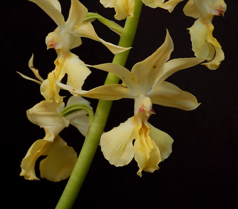 Calanthe sieboldii, flowers 4 cm