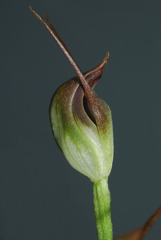 Pterostylis pedunculata  25 mm