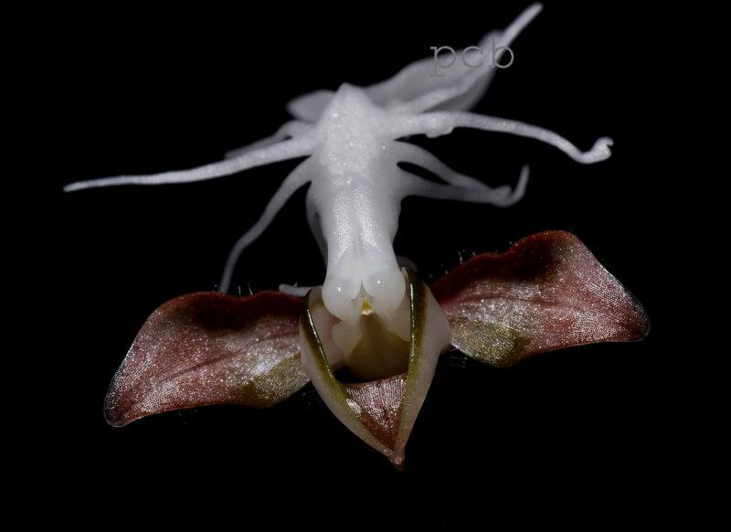 Anoectochilus geniculatis