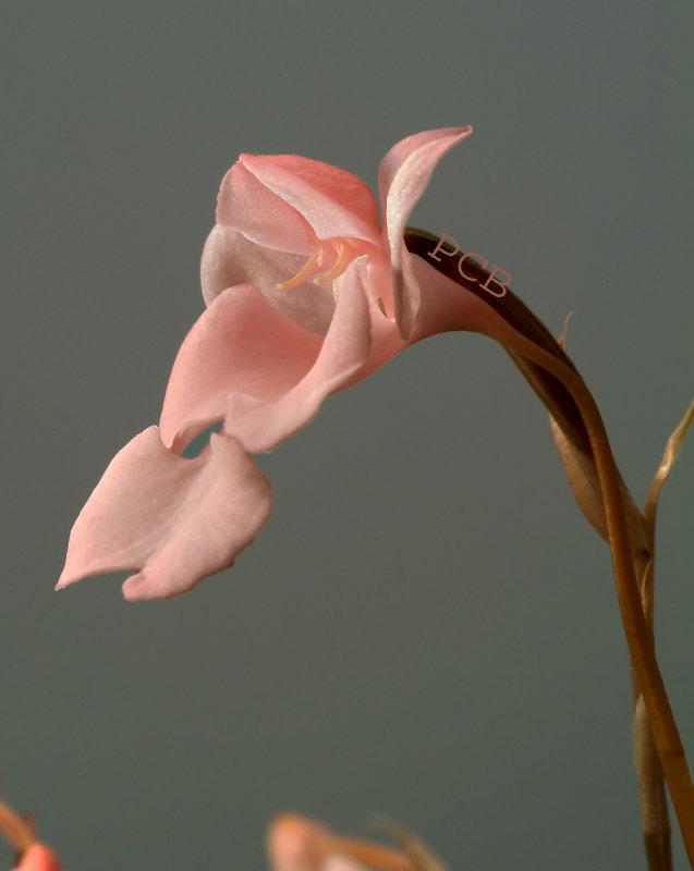 Habenaria carnea, 3-4 cm, Thailand