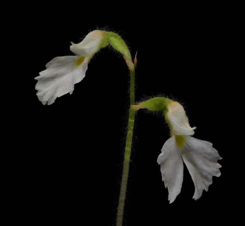 Cheirostylis spathulata, flowers 1.5 cm