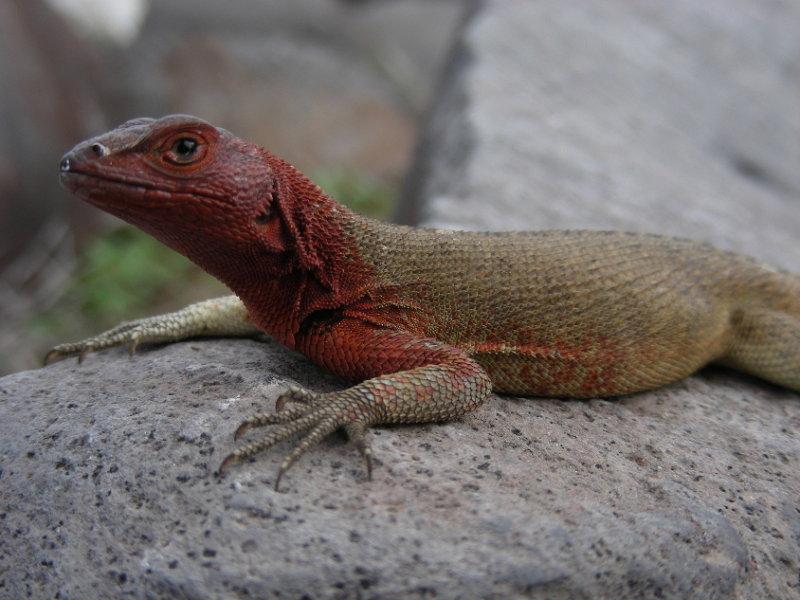 DSCN5856_Lava Lizard_female_Espanola Isl.JPG