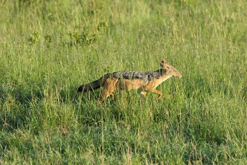 Premier safari dans la réserve de Masaï-Mara