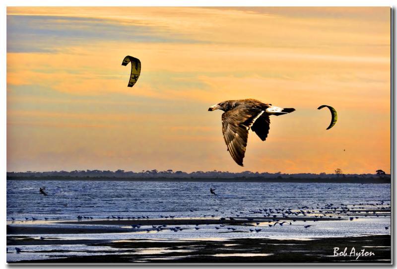 Pacific Gull Sunset