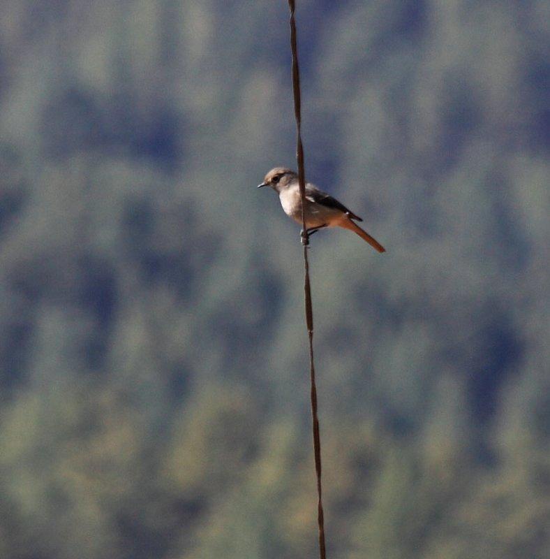 Hodgsons Redstart (female)