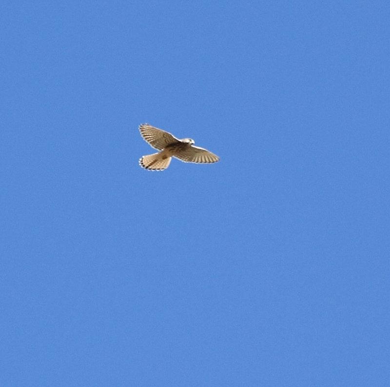 Common Kestrel, female