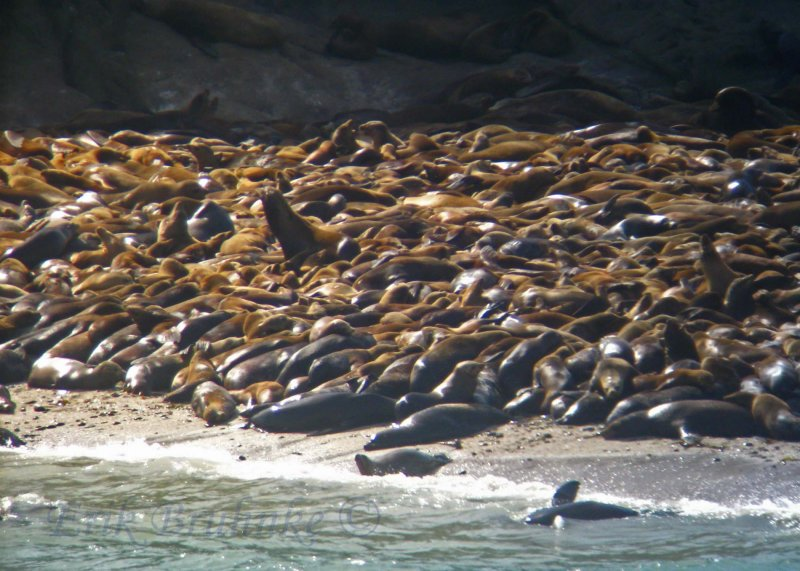 Digiscoped Steller Sea Lions and California Sea Lions