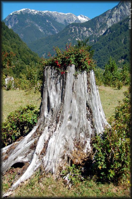 Flowers flourish inside a dead tree.