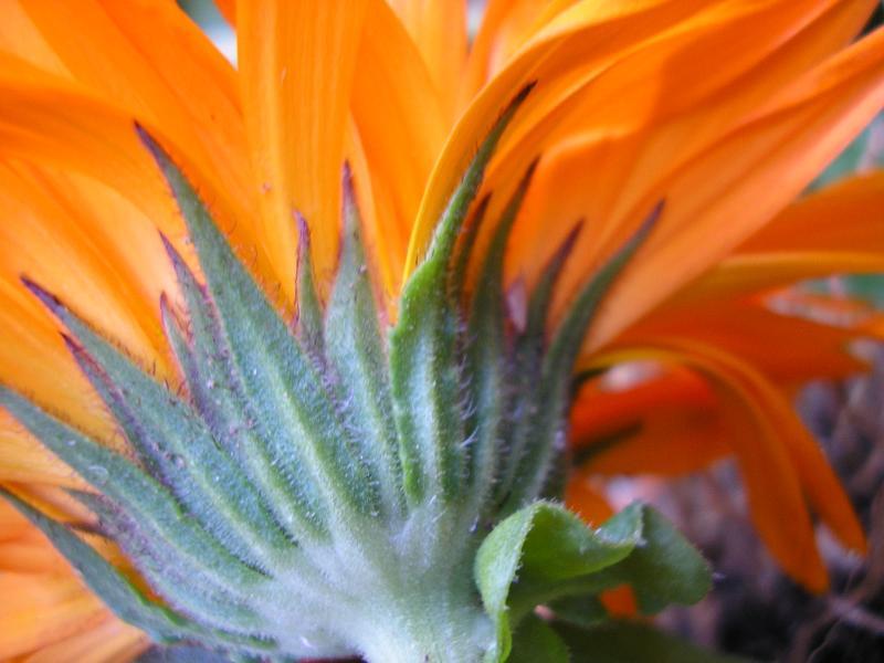 Orange calendula macro