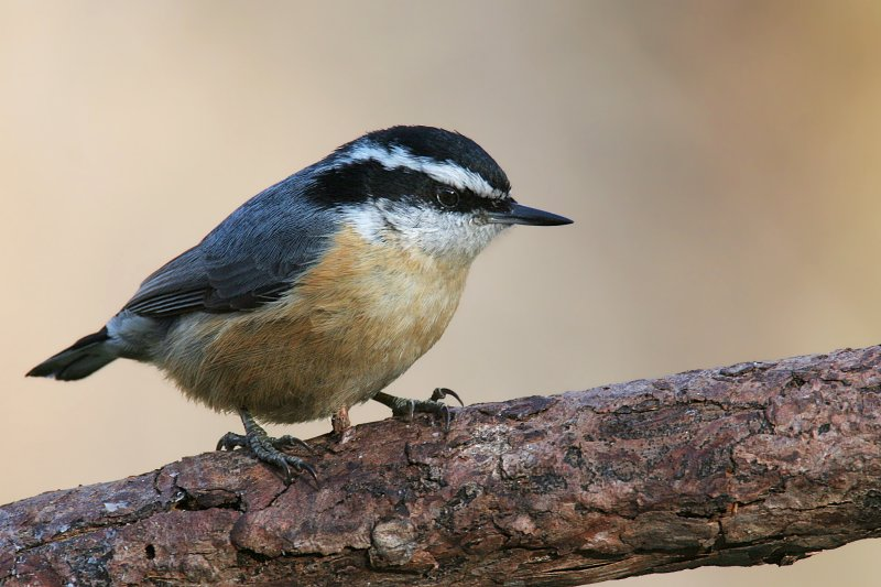 Red Breasted Nuthatch <i>Sitta Canadensis</i>