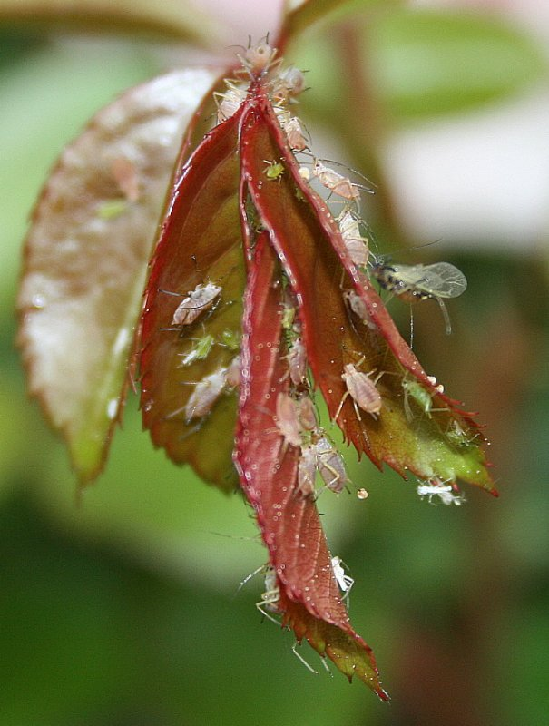 Who knew that so many aphids could live on a couple of leaves? The good one is the Lacewing on the right side.