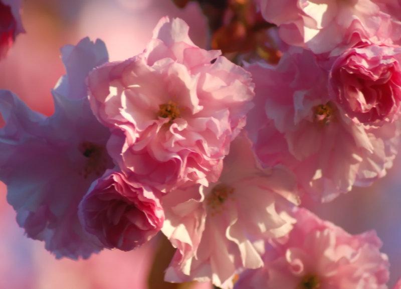 blurry blossoms photo - mathilda williams photos at pbase.com