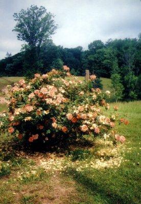 402_shedding_blossoms.JPG