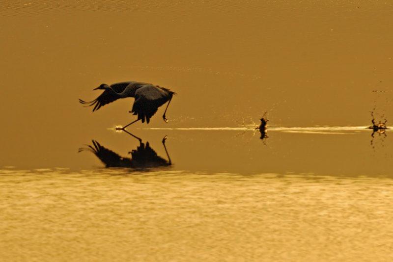 <h5>Common Crane - עגור אפור - <i>Grus grus<i></h5>