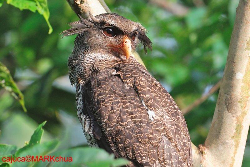 Barred Eagle Owl (Bubo sumatranus)