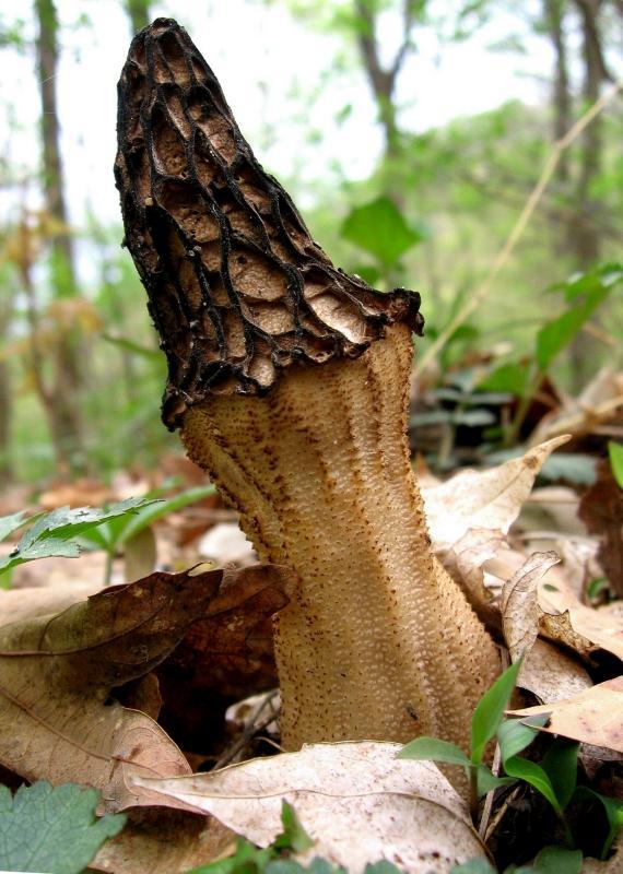 Morell mushroom