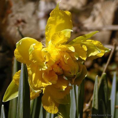Van Sion Daffodil, Mar 30th