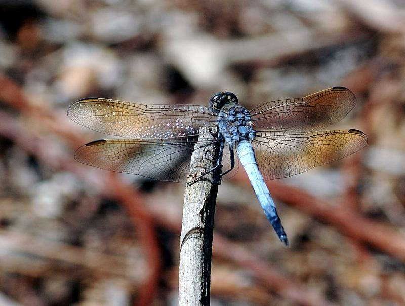 dragonfly cropped.