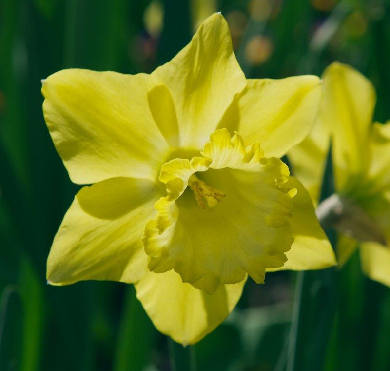 Back lighted Daffodil