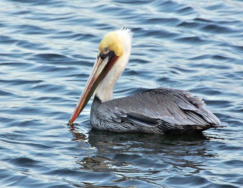 Brown Pelican in breeding colors