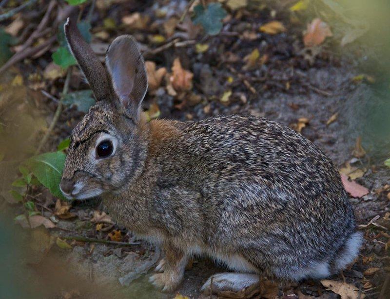 Cotton Tail Rabbit