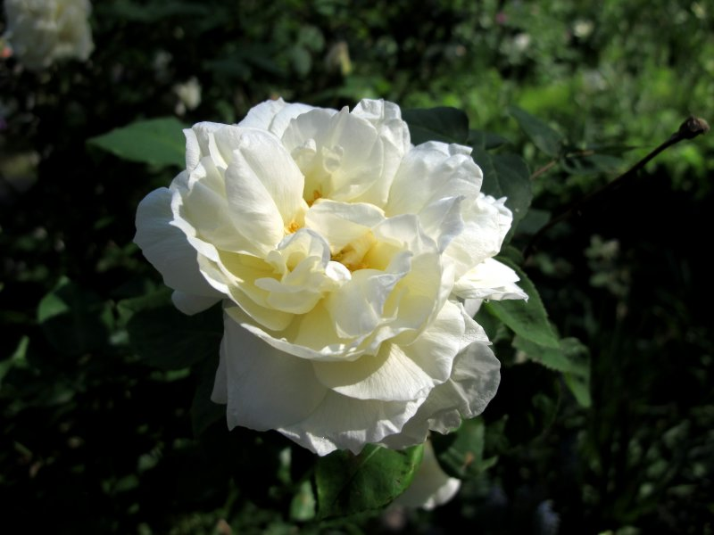 Crown Princess Victoria Rose