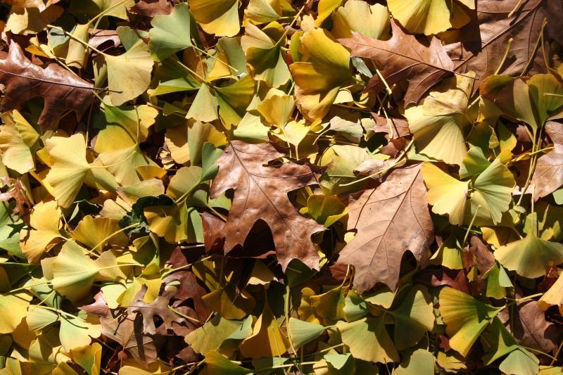 Mostly Ginkgo Leaf Ground Foliage