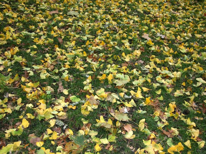 Mostly Ginkgo Foliage on the Grass