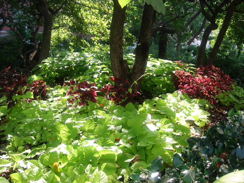 Sweet Potato Vines Coleus Garden Photo Hubert Steed Photos At