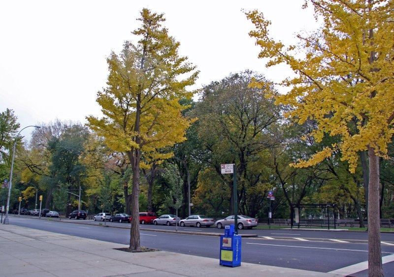 Riverside Park - Ginkgo Tree Yellow Foliage