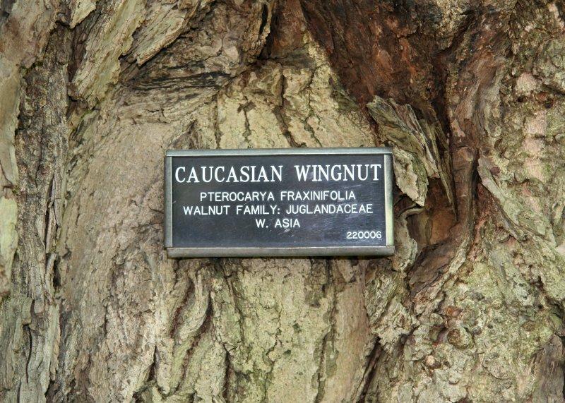 Caucasian Wingnut Walnut Tree Bark