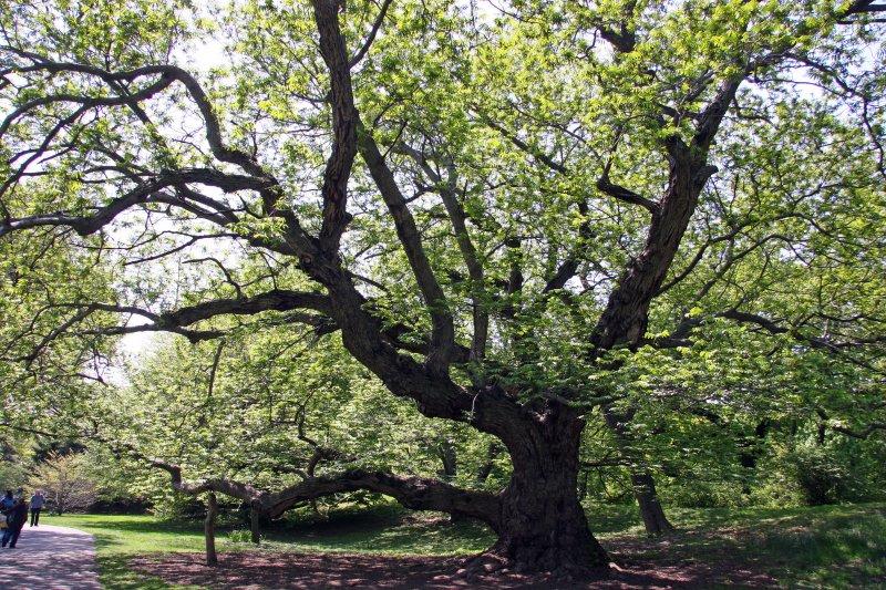 Caucasian Wingnut Walnut Tree