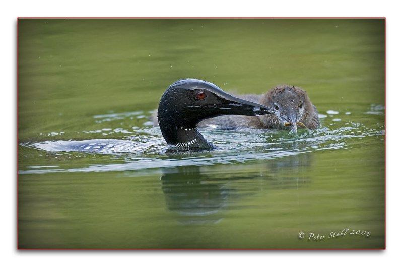 Mom  feeding  baby loon.jpg