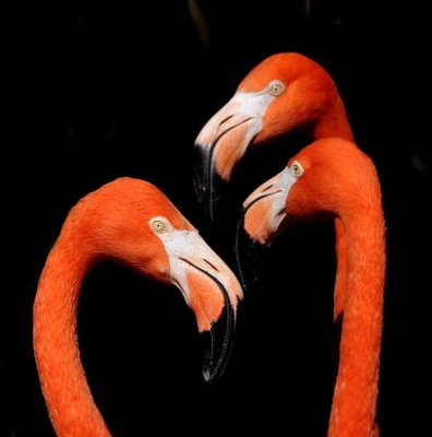 The Color of Flamingos