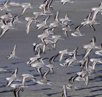 A Flying Cloud of Sandpipers