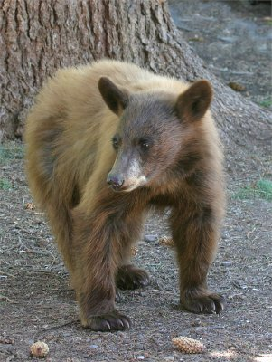 Cinnamon Bear Cub at Adams Lodge.jpg