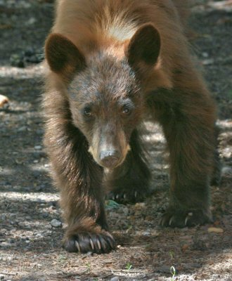 Cinnamon Bear Cub charging.jpg