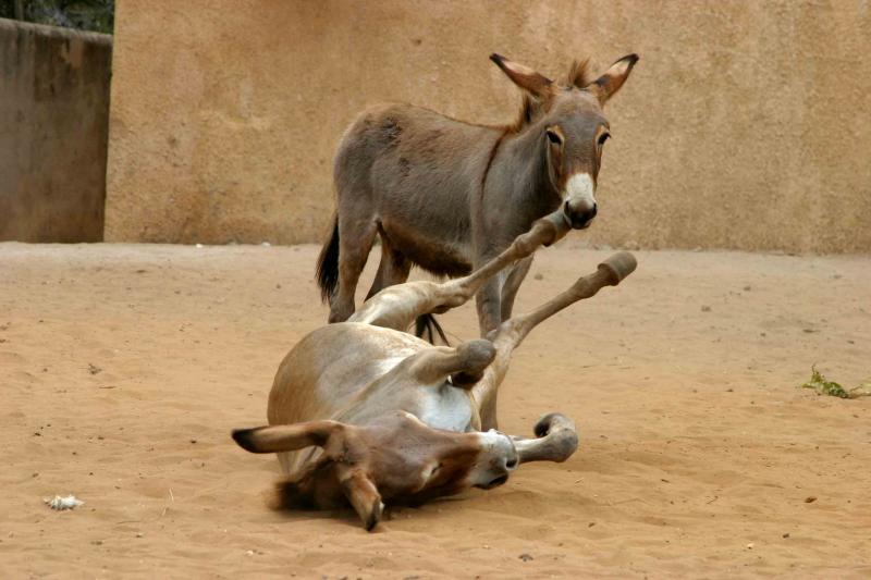Karate Kick Donkey
