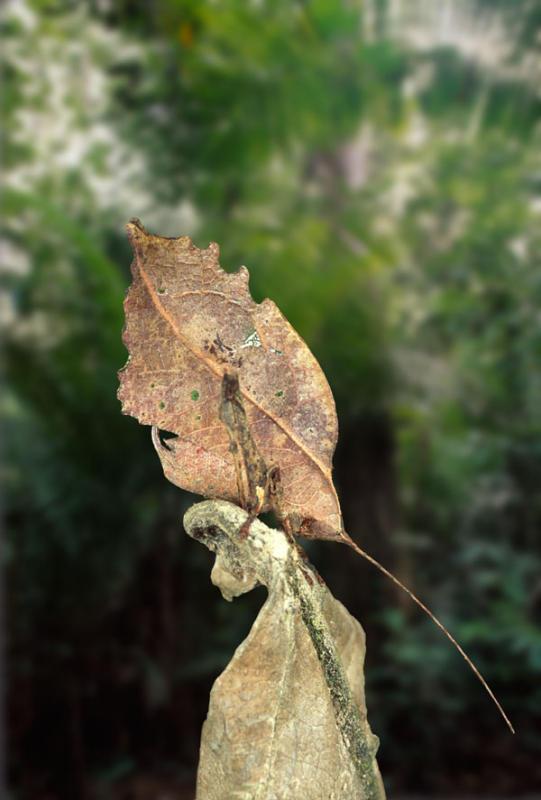 Leaf mimic katydid, Peru
