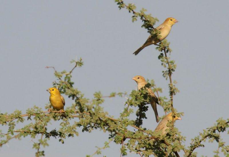 Arabian Golden Sparrow (Arabguldsparv) Passer euchloris