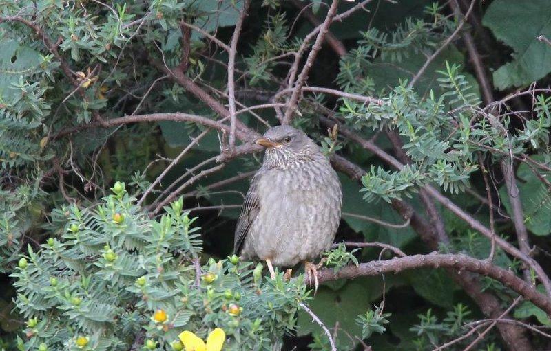 Yemen Thrush (Jementrast) Turdus menachensis