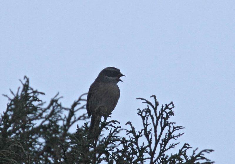 Arabian Accentor (Jemenjärnsparv) Prunella fagani